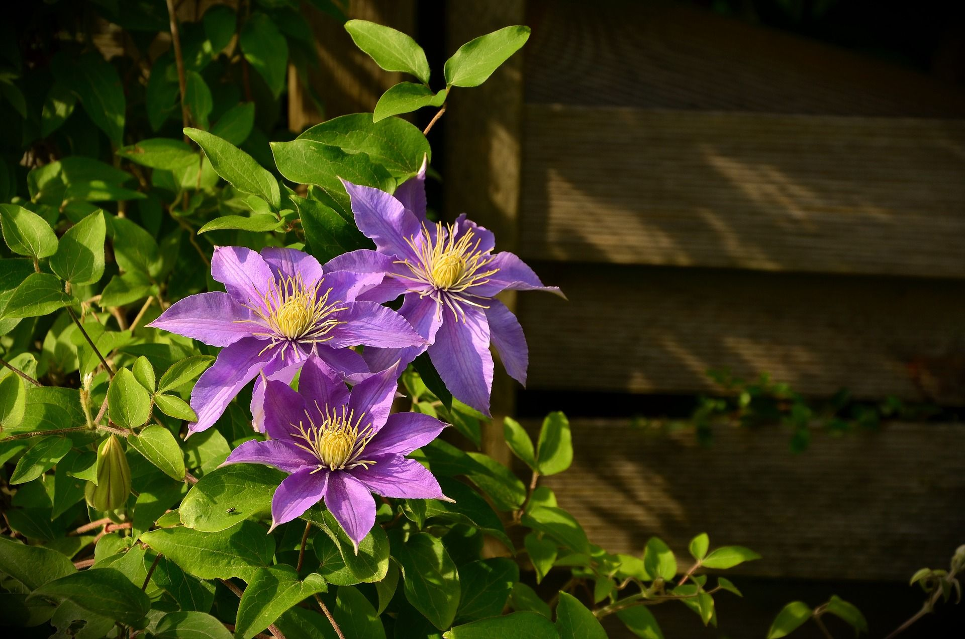 Clematis Blume in Lila